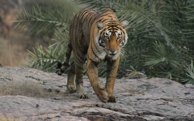 'The Hidden Tiger' documentary spotlights American tiger tragedy